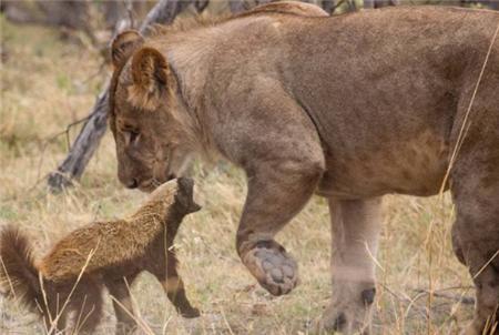 世界上最大胆的动物,敢挑衅老虎和狮子,被毒蛇咬了还能自愈!