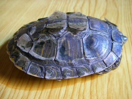 小伙去参观乌龟养殖,不小心用手拨弄了下龟